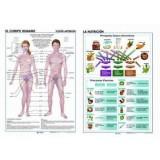 LAMINA SECUNDARIA LA NUTRICION/EL CUERPO HUMANO