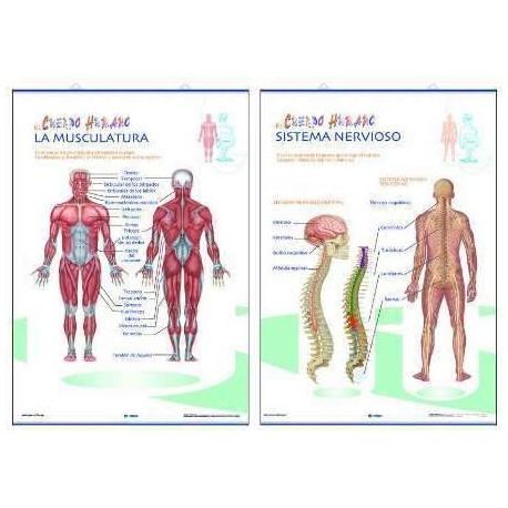 LAMINA PRIMARIA LA MUSCULATURA/SISTEMA NERVIOSO