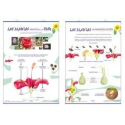 LAMINA PLANTAS ORGANOS DE LA FLOR/REPRODUCCION EDI